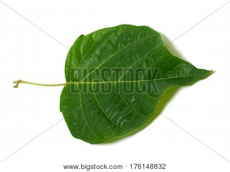 Spring Leaf On White Background