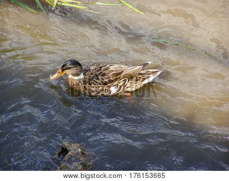 A young duck swims on the river
