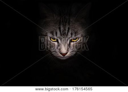 Muzzle and bright yellow eyes cat stares menacingly out of the darkness on a black background.
