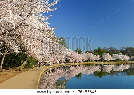 Washington DC in springtime - Tidal Basin during Cherry Blossom Festival