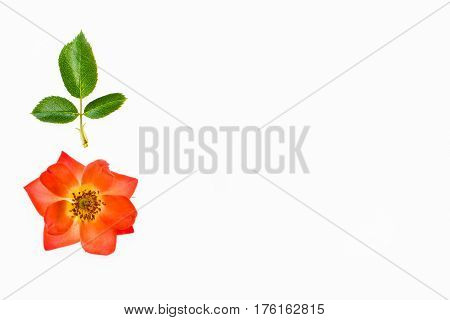 isolated orange rose on white background with copy space