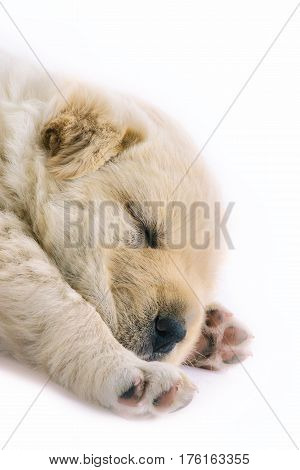 Close up shot of a cute four week old puppy showing head and front legs paws facing upon a white isolated background puppy is fluffy and cream in color
