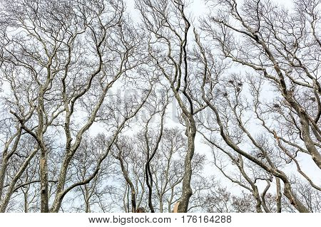 Many tall leafless trees on the sky background. There are mistletoe on some trees. Horizontal.