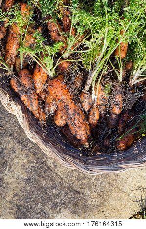 Homegrown Organic Carrots In Wicker Basket