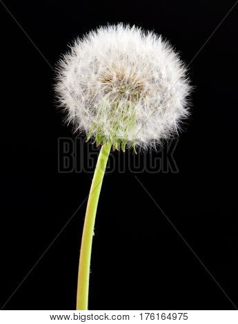 Dandelion flower on black background. One object isolated on dark.