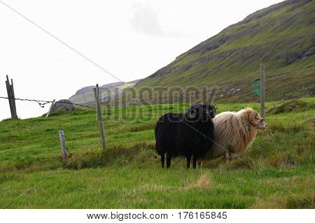 Wildlife in the Faroe Islands in the north Atlantic