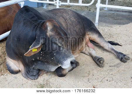 Pedigree cow lies in the farm stall. Agriculture