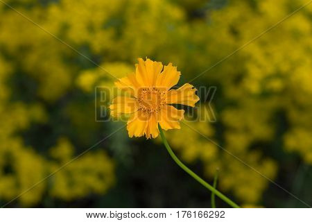 Yellow flower on a meadow closeup. Nature