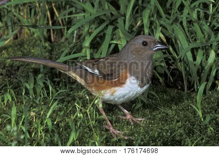 A female Eastern Towhee, Pipilo erythrophthalmus in the green underbrush