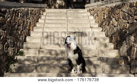 border collie walking in the park dog