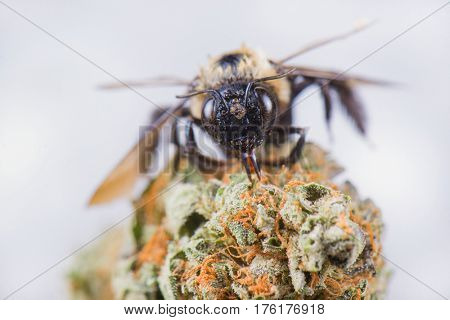 Macro detail of a bee over dried cannabis nug isolated over white background - medical marijuana concept
