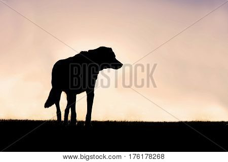 Silhouette of a German Shepherd Border Collie Mix Breed Dog standing guard in his yard at sunset.