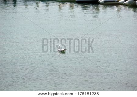 A ring-billed gull (Larus delawarensis) swims in the harbor of Harbor Springs, Michigan during August.