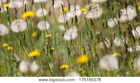 Spring flowers with a tiny bee / Summer meadow full of flowers / Dandelions with small fly