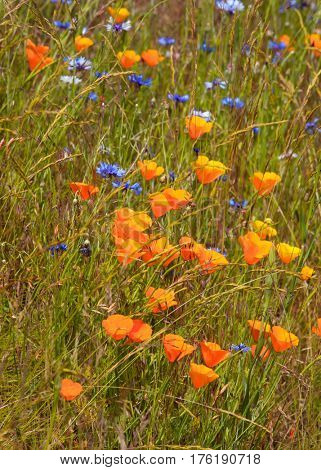 Orange Poppy flowers growing wild in the grass