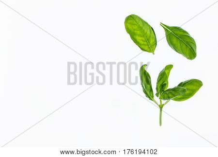 backlit basil leaves on white background with copy space