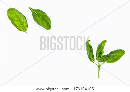 closeup of fresh basil leaves isolated on white background