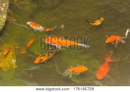 beautiful golden fish swimming in pond , pet