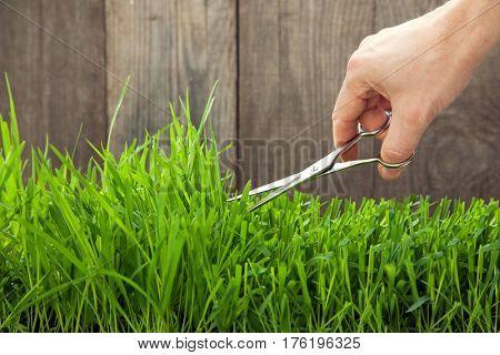 Man cuts grass for lawn with scissors, fresh cut lawn