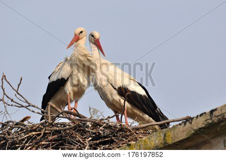 Couple of white storks in nest. Springtime is time for love of storks.