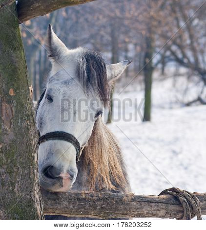 Hungry horse nibbles log at winter time.