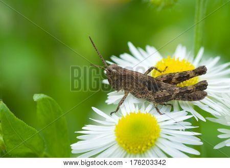 Little grasshopper on the edge of dandelion kingdom.