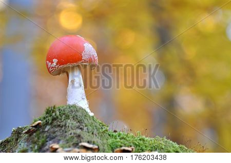 Toadstool,  Amanita muscaria, Close up photo of a poisonous mushroom in the forest