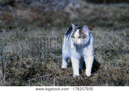 Domestic cat walking outdoors in springtime and watching something.