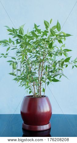 Decorative green tree in a clay brown pot against a blue background. Reflection on a glossy surface.