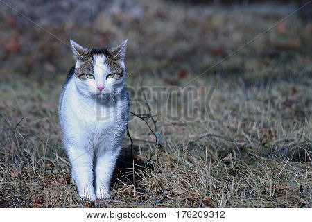 Domestic cat staring at camera outdoors in springtime.