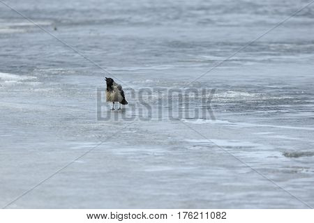 Single gray crow stands on the ice and croaks