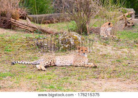 Cheetah , Acinonyx jubatus lying in green grass and looking at camera