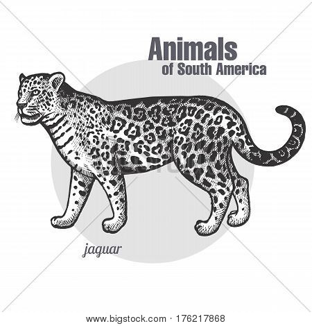 Jaguar hand drawing. Animals of South America series. Vintage engraving style. Vector illustration art. Black and white. Object of nature naturalistic sketch.