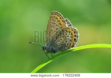 Plebejus argus, Silver Studded Blue Butterfly resting on grass in meadow