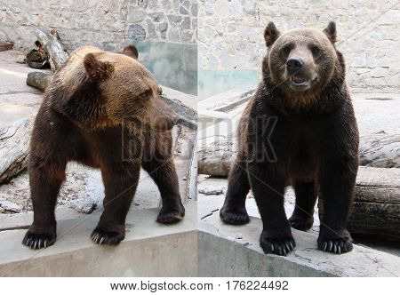bears. a cute brown bear. Big Brown Bear.
