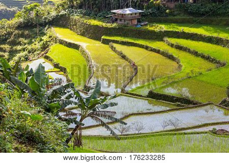 Beautiful Green Rice terraces in the Philippines. . Rice cultivation in the Luzon island.