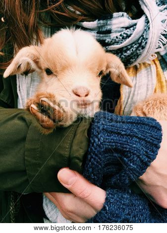 Baby goat in hand. Cute farm animal concept.
