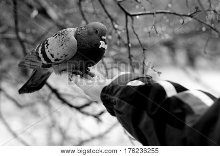 Pigeon sitting on palm and eating bread crumbs. A man feeds a Pigeon with his hands