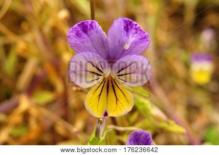 Tiny whiskered viola flower in garden purple yellow