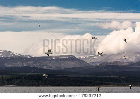 Albatross in flight in Tierra del Fuego