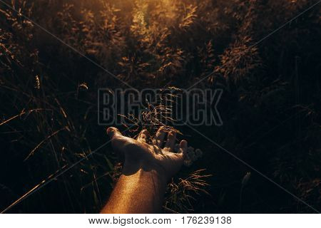 Hand With Wild Herb In Sunset Rays At Summer Field. Meadow Under Amazing Sunshine. Beautiful Grassla