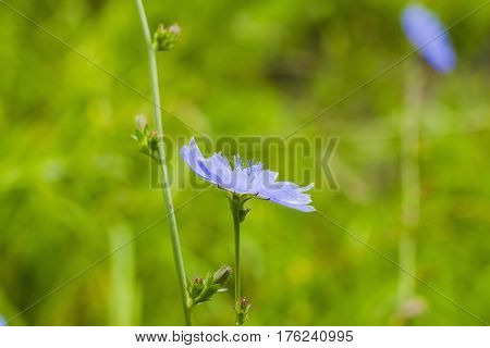 Bright blue wildflower Common chicory or Cichorium intybus in summer field. Close up flower Chicory side view
