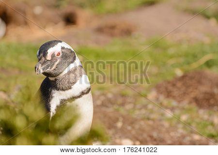 A Magellan penguin portrait in the habitat