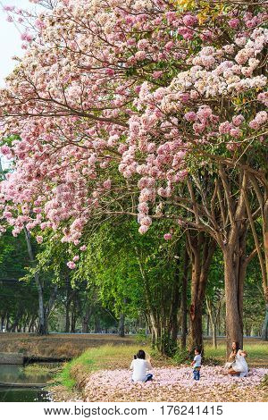 NAKHON PATHOM THAILAND - 24 FEBRUARY 2016 - Unidentified woman uses her mobile phone to take picture with her kid and fallen Pink Trumpet flowers on the ground at Kamphaeng Saen Nakhon Pathom province Thailand.