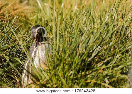 A Magellan penguin portrait in the grass