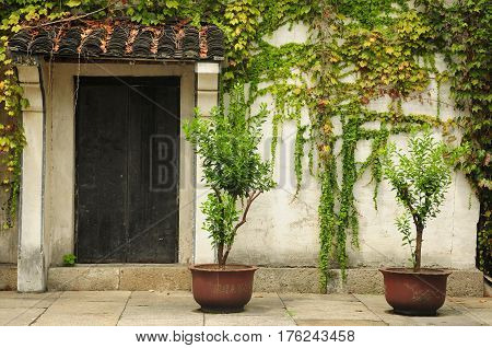 Potted trees near a door and wall covered in ivy within the city of Shaoxing China in Zhejiang province.