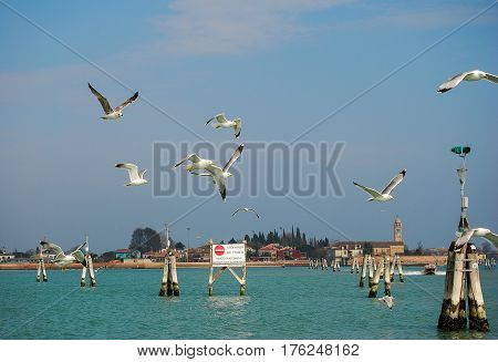 Seagulls follow a vaporetto in Venice,Italy hunting for scraps