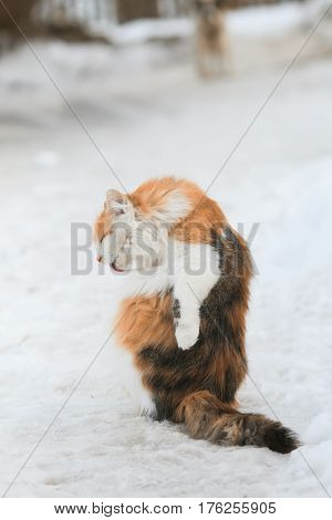 beautiful fluffy cat washes her long hair language the winter on the street