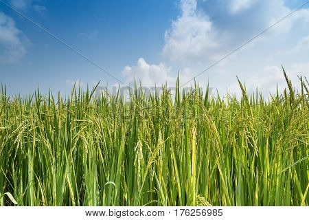 Close up of green paddy rice waiting for harvest season.