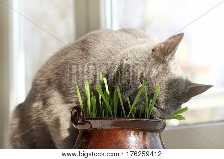 The cat sleeps in a pot with your favorite green grass on the window background / appetizing rest in the lawn